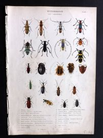 Richardson 1862 Hand Col Print. Beetles, Insects, Entomology